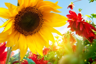 a beautiful, big, yellow sunflower